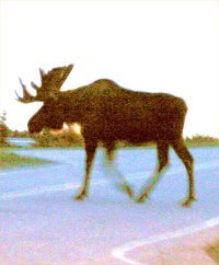 What is a Blue Moose?  This huge moose was caught strolling into the airport, going where ever he darn well pleased - we would like everyone to go where ever they please, just like this moose